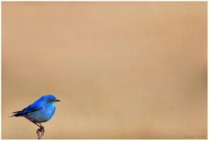 passarinho azul